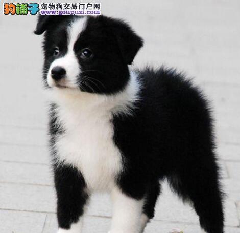 学习能力强、理解力高的狗狗——边牧