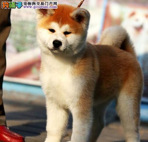 出售日本纯种秋田犬好可爱哦