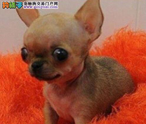 哈尔滨大型犬舍直销吉娃娃 可签订终身质保协议有赠品