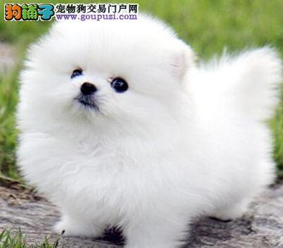 优秀纯种宁波博美犬直销价格出售 保健康保品质有证书