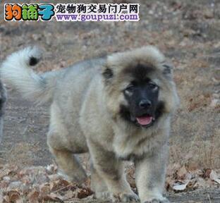 热销精品宁波高加索犬 有问题包邮退换售后有保证