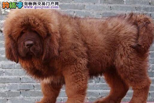 出售纯种藏獒、保证血统纯度、微信咨询看狗