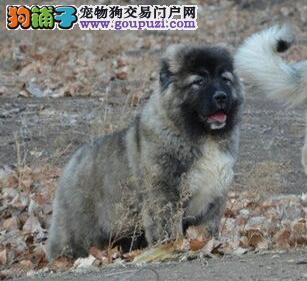 出售赛级高加索幼犬公母均有欢迎上门挑选