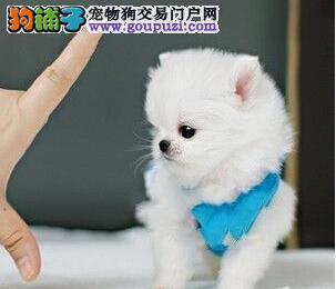 出售纯种白博美、黄博美幼犬
