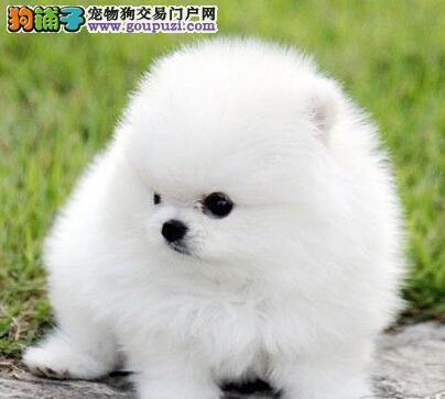 自家繁殖的一窝贵阳博美犬特价优惠出售中 欲购从速