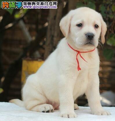 湖州正规犬舍直销高品质拉布拉多犬购买签售后协议