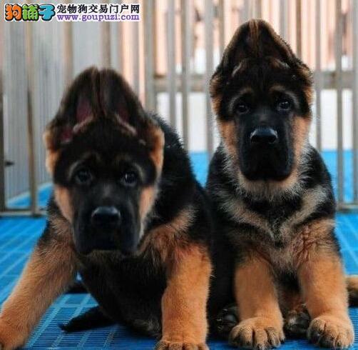 广州大型养殖场出售锤系德国牧羊犬 可送货上门选购