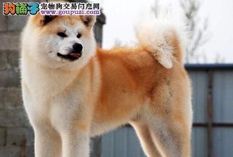 低价出售自家繁殖的青岛秋田犬 选择专业 选择放心