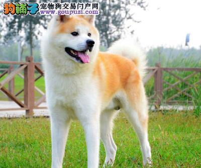 低价促销纯日系血统的秋田犬 请东莞朋友上门选购看狗