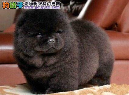 三个月的广州松狮犬找爸爸妈妈 可签订合法售后协议