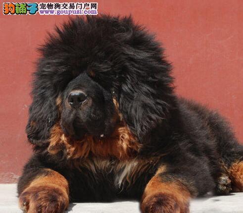 出售大骨量毛量足的广州藏獒幼崽 实物拍摄 实体店面