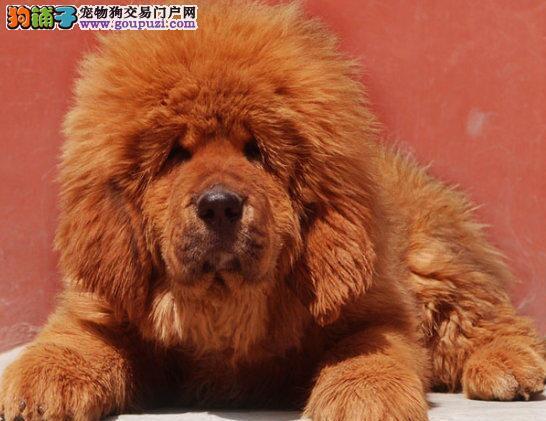 天津实体店低价促销赛级藏獒幼犬可直接视频挑选