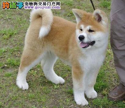 直销价格出售纯种日系秋田犬 欢迎来泉州直接购买挑选