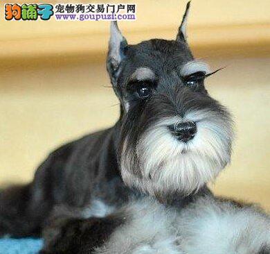 出售白胡子小老头广州雪纳瑞幼犬 椒盐色灰银色均有