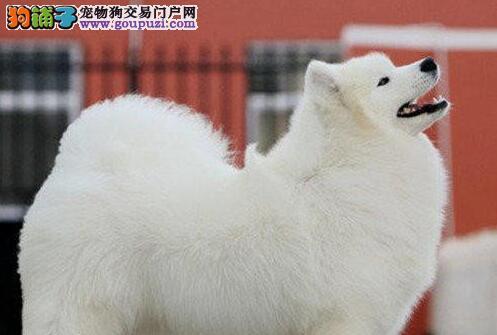广州基地直销萨摩幼犬 可视频看狗选购 欲购从速