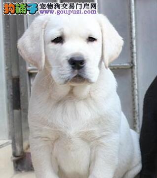 聪明易训练的广州拉布拉多犬找新家 爱狗人士优先选购