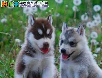 广州基地出售双蓝眼三把火哈士奇幼犬 狗贩子勿扰