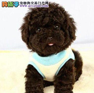 精品韩国血统泰迪犬深圳大型狗场专业繁殖 低价促销
