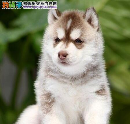 萌犬哈士奇低价出售 公母犬可签协议南宁本地上门挑选