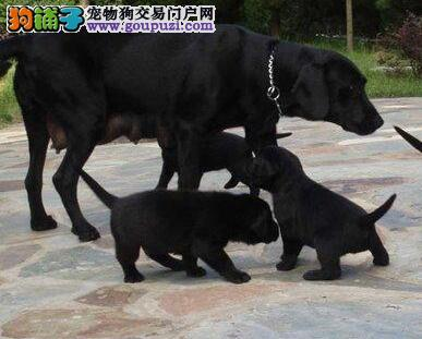 超高品质的镇江拉布拉多犬热卖中可见父母