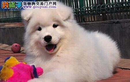 三亚知名犬舍出售雪白色的萨摩耶幼犬 保证品质售后