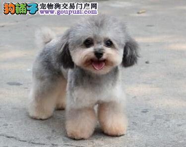 青岛犬舍出售精品纯种健康茶杯泰迪幼犬 上门可见父母