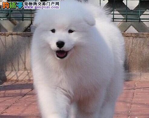 青岛专业狗场直销价格出售微笑天使萨摩耶 保证品质