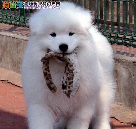 高品质萨摩耶幼犬,真实照片视频挑选,签订正规合同