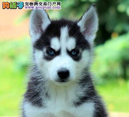 售纯种健康的青岛哈士奇幼犬 售后可签订保障协议