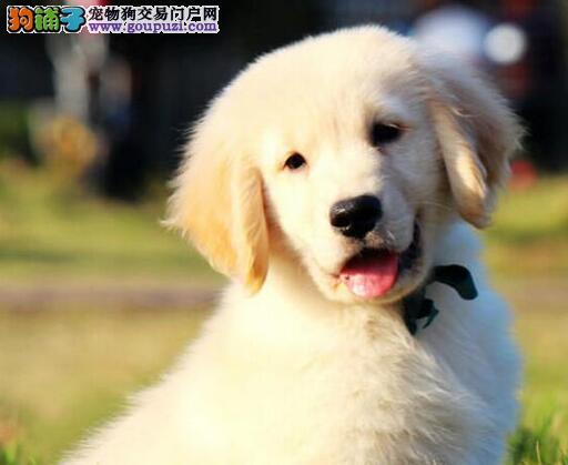 精心培育 | 活泼健康、帅气英系(金毛幼犬)出售