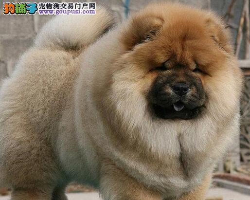 CKU犬舍认证乌兰察布出售纯种松狮价格低廉品质高