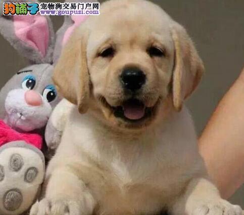 顶级广州拉布拉多幼犬找爸爸妈妈 疫苗驱虫齐全