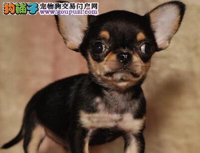 自家繁殖的纯种吉娃娃找主人微信咨询看狗狗照片