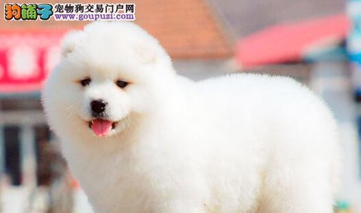 转让纯正微笑天使萨摩耶 南京周边地区可免费送狗