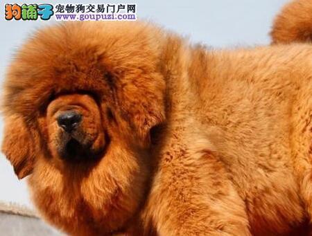 出售血统优良狮头虎头版的广州藏獒 上门选购可看大狗