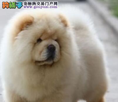 转让肉嘴广州松狮犬 支持视频挑选 证书芯片齐全