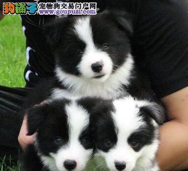 广州基地出售七白到位品相极佳的边境牧羊犬 非诚勿扰