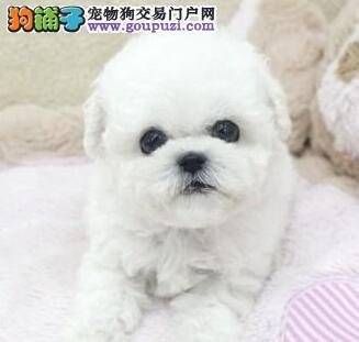 甜美脸型的贵阳比熊犬找新主人 爱狗人士优先选购
