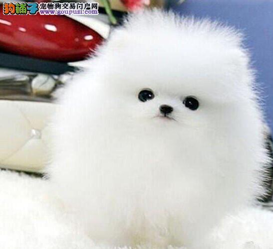 延安出售极品博美犬幼犬完美品相签订终身协议