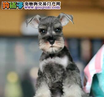 迷你雪纳瑞幼犬,纯种健康,可上门看狗