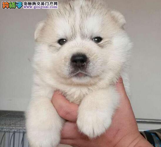 出售哈士奇公母都有品质一流微信咨询看狗