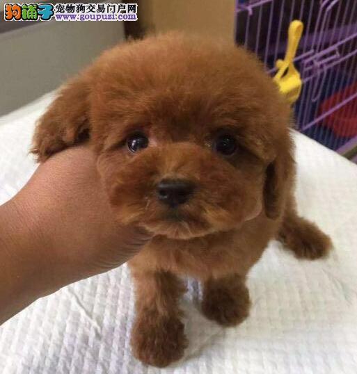 精品纯血统保定泰迪犬超低价出售 茶杯血系 欲购从速