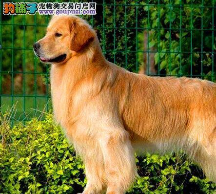 自家繁殖金毛犬转让西安地区可送货上门
