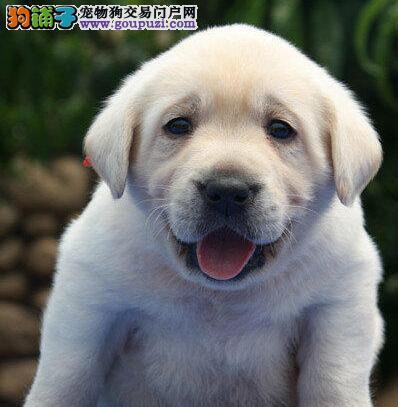 长沙正规狗场繁殖纯种拉布拉多犬 免费送货上门看狗