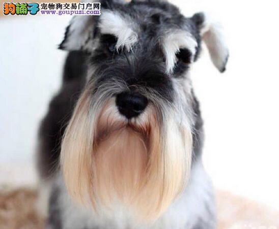 石家庄犬舍出售精品雪纳瑞 迷你型体 绝对包质量