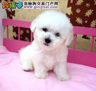 出售萍乡比熊专业缔造完美品质欢迎实地挑选