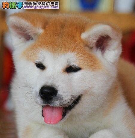 出售秋田犬颜色齐全公母都有假一赔万签活体协议