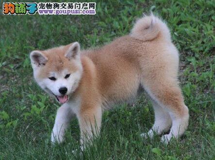 家养秋田犬出售,价格美丽品质优良,提供养狗指导