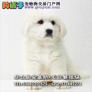 深圳哪里买大白熊犬 CKU认证 骨量粗壮,支持视频送货