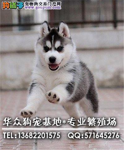 深圳哪里买哈士奇犬最好 家庭式繁育哈士奇 保证健康